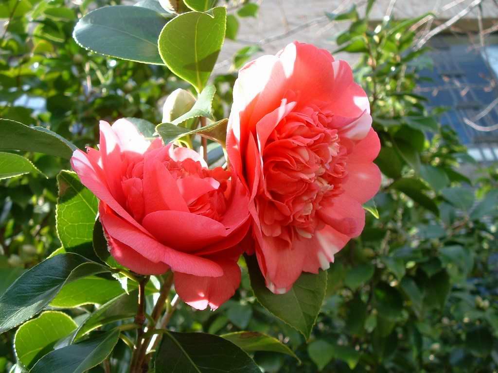 Camelias camellia japonica for Cuidados camelia japonica
